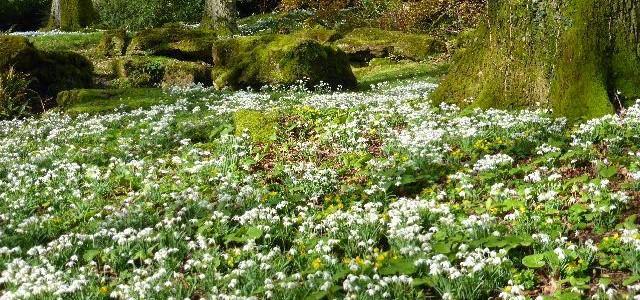 Snowdrops at Batsford Arboretum