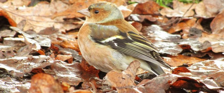 A chaffinch hiding