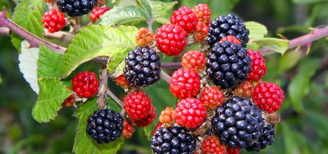 What's your favourite recipe for blackberries?