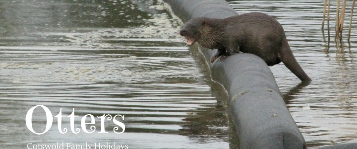 Otters in Cotswold Water Park