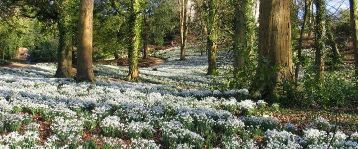 Snowdrops at their best now!