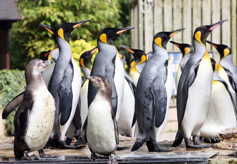 Birdland Humboldt Penguins