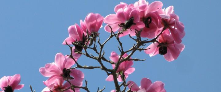 Daffodils and Magnolias at Batsford Arboretum