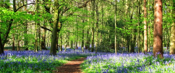 Bluebells in the Cotswolds