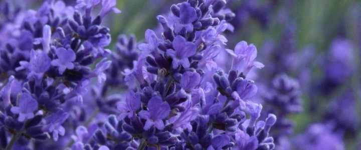 Lavender in the Cotswolds