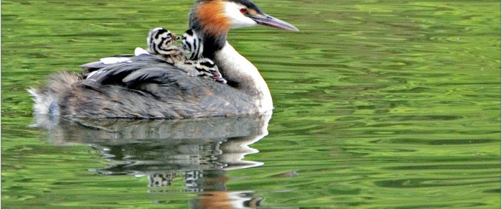 Great Crested Grebes carrying babies on the Lower Mill Estate, Cotswolds