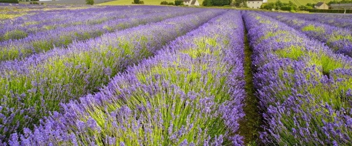 Snowshill Lavender Farm, Broadway, Cotswolds