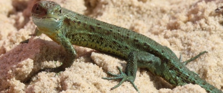 Common Lizards in the Cotswolds