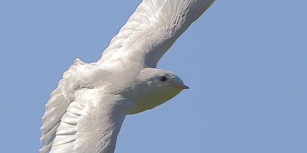 Albino Swallow in the Cotswolds
