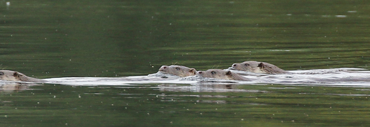 Otters on Lower Moor Farm, Cotswold Water Park