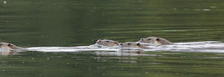 Otters on Lower Moor Farm, Cotswold Water Park