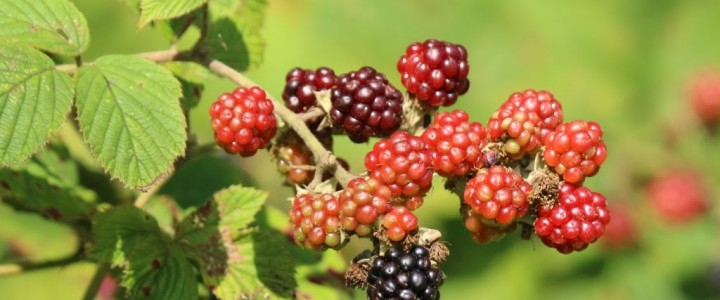 Blackberry season in the Cotswolds