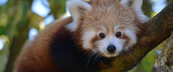 Red Panda Cubs at Cotswold Wildlife Park and Gardens