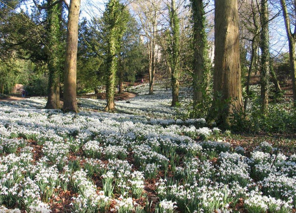 Painswick Rococo Gardens Snowdrops