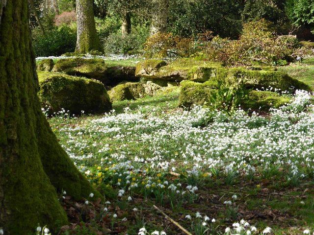 Batsford Arboretum Snowdrops